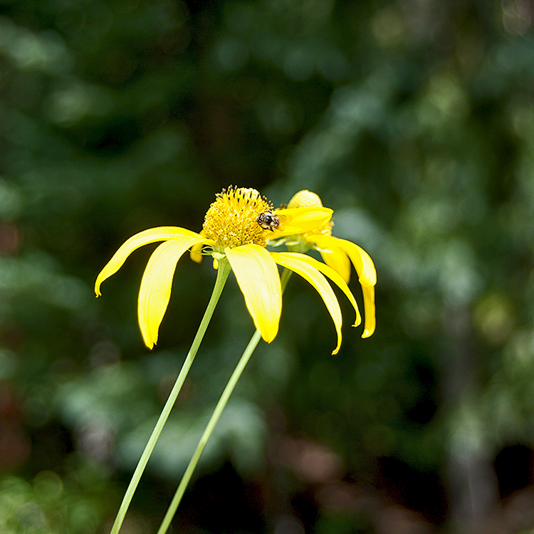 Spring flower with a bee against a wooded background